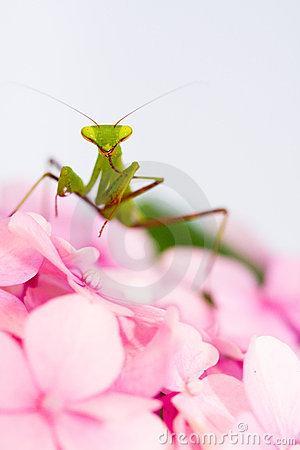 praying-mantis-pink-flower-portrait-thumb7855866
